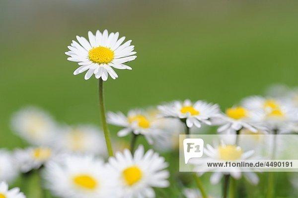 Daisy Bellis perennis  close up Bavaria  Germany  Europe