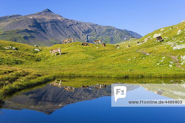 Nationalpark, Berg, Planung, Spiegelung, Pfütze, Rind, Surselva, Hochebene, Kanton Graubünden, Schweiz
