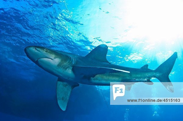 Oceanic White tip shark at Elphinstone reef in Red Sea  Egypt  with remora THis shark mainly eats bony fishes like tuna and mackereal  but will also eat other sharks  rays turtles seabirds  carrion and even rubbish Under threat from bycatch and shark fi