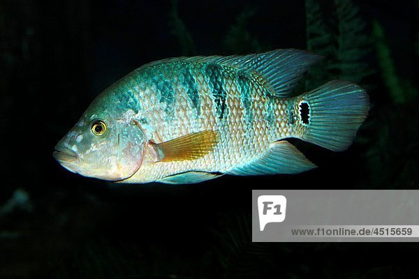 Peacock Cichlid  cichla ocellaris  Adult fish from South America