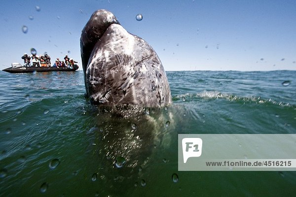 California gray whale Eschrichtius robustus calf with excited whale watchers in San Ignacio Lagoon on the Pacific side of the Baja Peninsula  Baja California Sur  Mexico MORE INFO Each winter thousands of California gray whales migrate from the Bering an