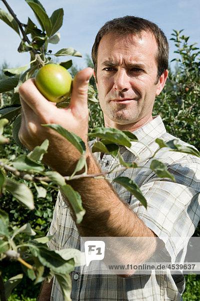 Mann pflückt frische Äpfel