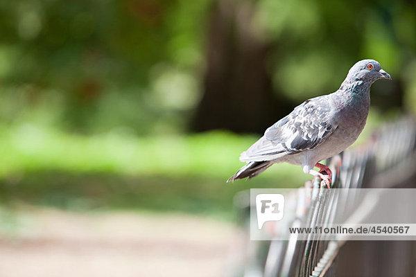 Taube auf einem Zaun thront