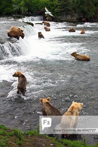 A view from the Park Service platform where adult brown bear Ursus arctos forage for salmon at the Brooks River in Katmai National Park near Bristol Bay  Alaska  USA Pacific Ocean MORE INFO Every July salmon spawn in the river between Naknek Lake and Br