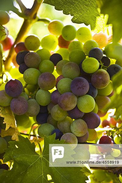 Trauben wachsen auf Rankenpflanze  Nahaufnahme
