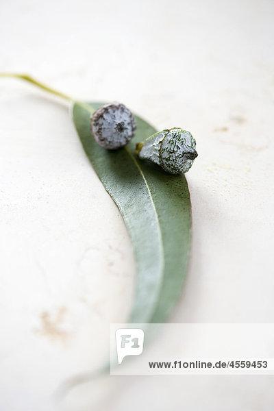 Blütenknospen mit Blatt Eukalyptus Pflanze