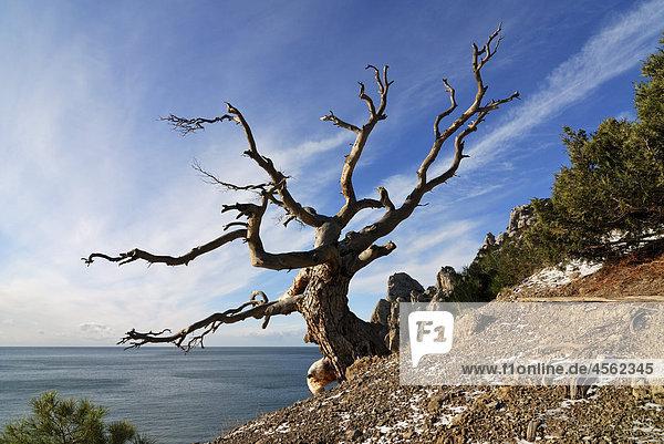 einsamer Baum in blue Bay auf Krim im winter