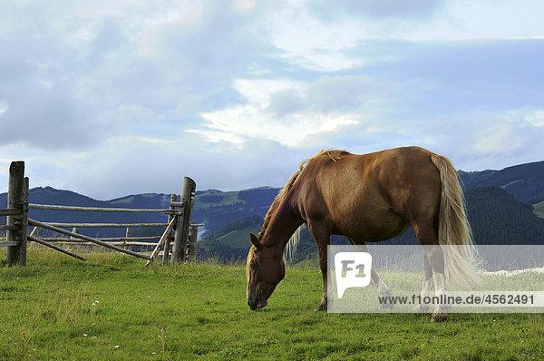 Porträt von braunen Pferd auf Wiese
