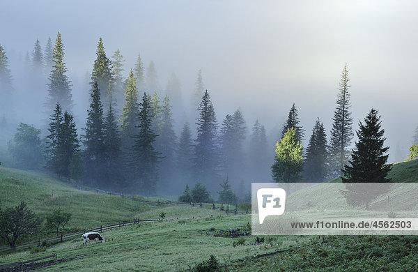 Dzembronya Landschaft mit Kuh auf Wiese