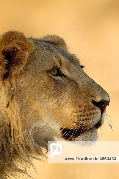 African Lion Panthera leo - Male  young  Kgalagadi Transfrontier Park  Kalahari desert  South Africa