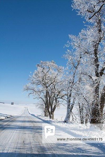 Locust trees in the Palouse in winter  Washington State  USA