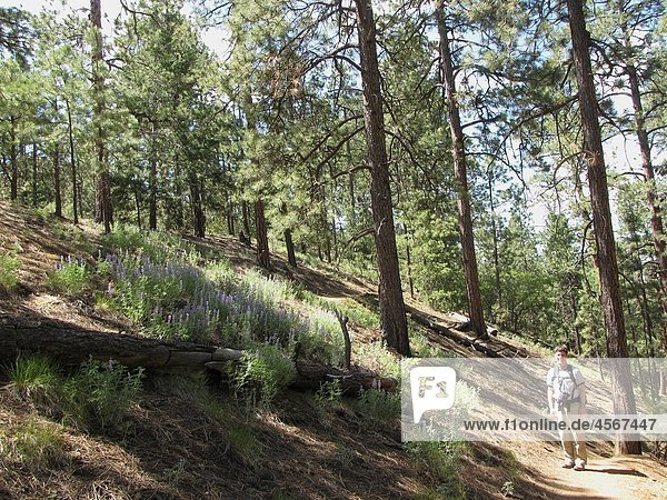 Man  40s  hiking by hillside of lupine on Chamisa Trail  Santa Fe National Forest  near Santa Fe  New Mexico  USA