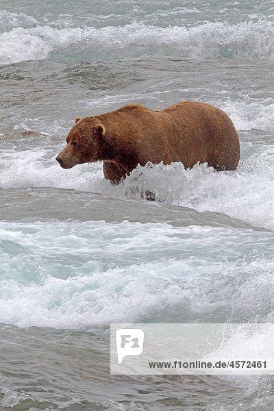 Alaska   Katmai National Park and Preserve   McNeil River Bear Viewing and Wildlife Sanctuary   falls of the Mc Neil river   Grizzly bear Ursus arctos horribilis   family : ursidae   order : carnivora