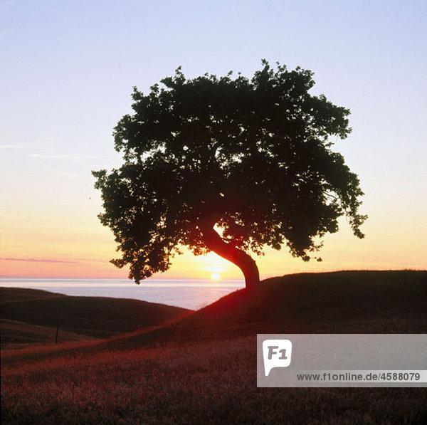 Solitary oak tree at sunrise by the Baltic Sea. Osterlen. SkÂne. Sweden