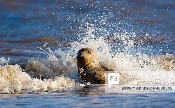 Grey Seal (Halichoerus grypus). Donna Nook National Nature Reserve  England. UK