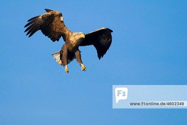 White-tailed Eagle (Haliaeetus albicilla)  in flight  lake of Feldberg  Mecklenburg-Western Pomerania White-tailed Eagle (Haliaeetus albicilla), in flight, lake of Feldberg, Mecklenburg-Western Pomerania