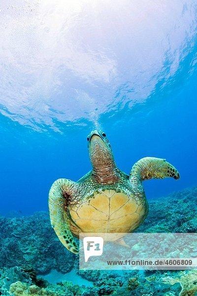 Green Turtle  Chelonia mydas  Marshall Islands  Bikini Atoll  Micronesia  Pacific Ocean