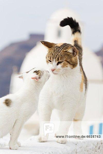Europa  Griechenland  Kykladen  Santorini  Katze mit Kätzchen an der Wand