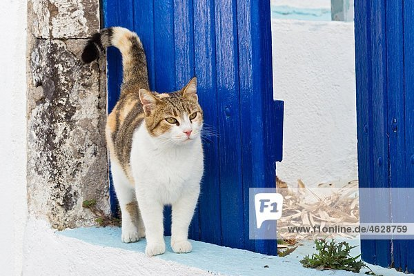 Europa  Griechenland  Kykladen  Santorini  Katze am Eingang stehend