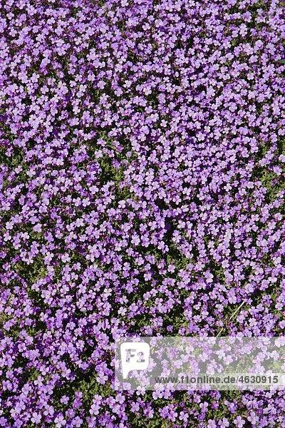 Deutschland  Bayern  Kleine lila Blumen