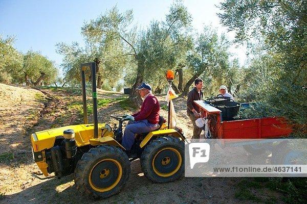 Picking olives in the olive grove. Sierra de And˙jar Natural Park. JaÈn province. AndalucÌa. Spain.