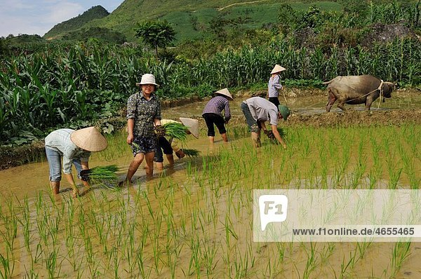 planting out in paddy-field  around Viet Lam  Ha Giang province  northern vietnam  southeast asia
