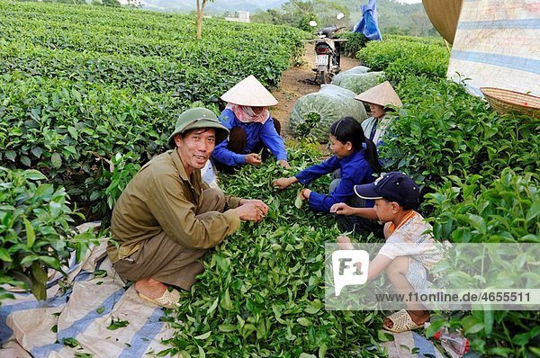 harvest in tea field at Mylam  around Tuyen Quang  northern vietnam  southeast asia