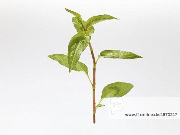 Vietnamesischer Koriander (Polygonum odoratum / Persicaria odoratum)