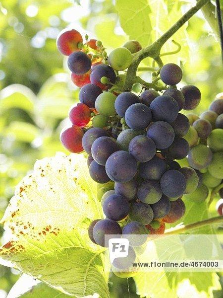 Rotweintrauben am Rebstock