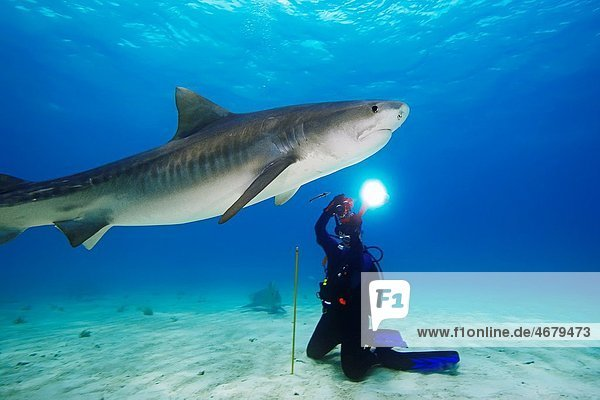 woman scuba diver photographing tiger shark  Galeocerdo cuvier  Grand Bahama  Bahamas  Caribbean Sea  Atlantic Ocean  Model Released: MR-000054