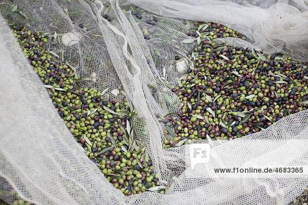 Oliven im Netz Oliven im Netz