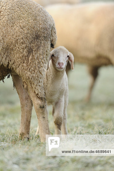 Lamm neben ausgewachsenem Schaf auf einer Wiese