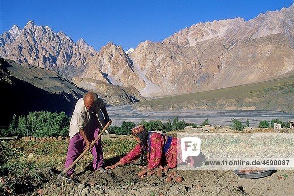 Pakistan  Hunza valley  Hussaini village  Potato harvest
