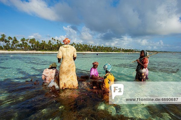 Tanzania  Zanzibar island  Unguja  alga harvesting at one of the underwater farms  Jambiani