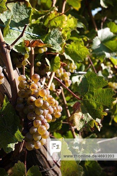 France  Haut-Rhin  Alsace Region  Alasatian Wine Route  Hunawihr  vineyard  autumn France, Haut-Rhin, Alsace Region, Alasatian Wine Route, Hunawihr, vineyard, autumn
