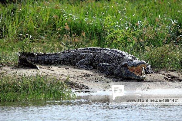 Crocodile crocodylus niloticus  Murchison Falls national park  Uganda  East Africa