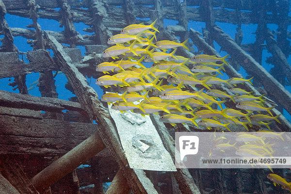 Yellowfin Goatfish (Mulloidichthys vanicolensis)  Marsa Alam  Egypt  Africa