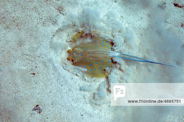 Blaupunktrochen (Taeniura lymma)  Marsa Alam  ƒgypten  Rotes Meer  Afrika