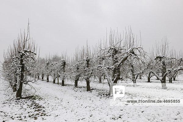 Birnbaumplantage im Winter  Baden-Württemberg  Deutschland  Europa