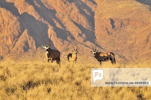 Spießböcke oder Gemsböcke (Oryx gazella) im hohen Gras des Namib Rand Nature Reserve  Namib-Wüste  Namibia  Afrika