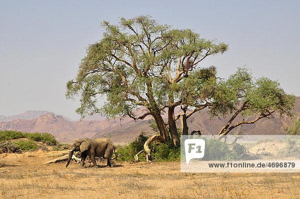 Wüsten-Elefant (Loxodonta africana) im Huab-Trockenfluss  Damaraland  Namibia  Afrika