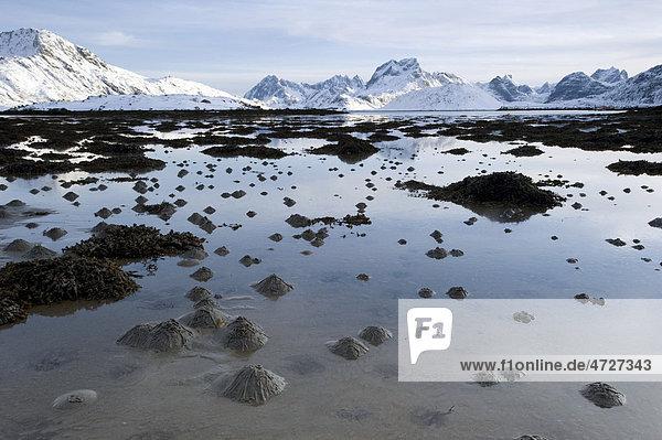Wattwurmhaufen  Sandhaufen des Wattwurmes (Arenicola marina) auf den Lofoten  Nordland  Norwegen  Europa
