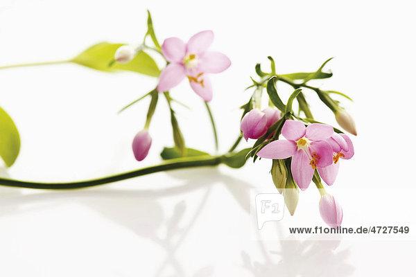 Tausendgüldenkraut (Centaurium)