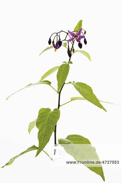 Bittersüß (Solanum dulcamara)