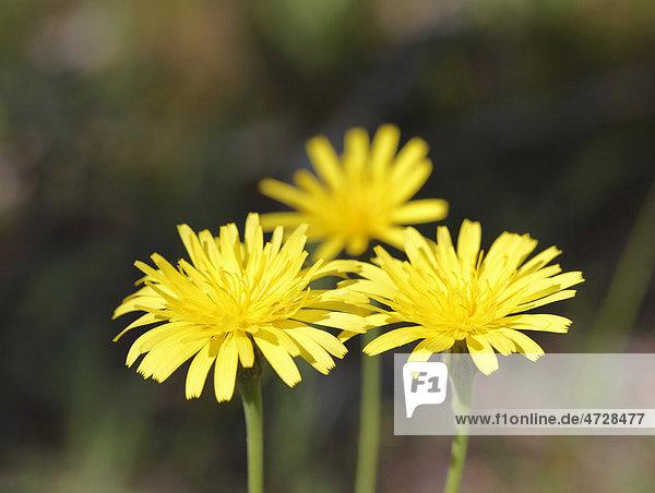 Blüten des Habichtskrauts (Hieracium sp)  Bayern  Deutschland  Europa