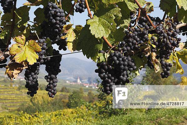 Rote Trauben an Weinreben  Weißenkirchen in der Wachau  Waldviertel  Niederöstereich  Österreich  Europa