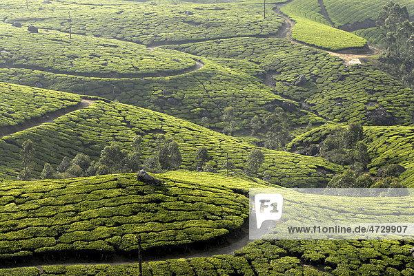 Teeplantagen bei Munnar  Western Ghats  Kerala  Südindien  Indien  Asien