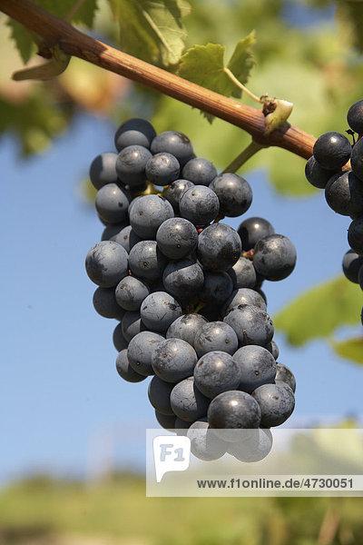 Rote Weintrauben der Sorte Regent am Weinstock