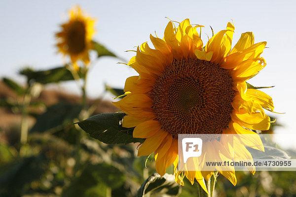 Sonnenblume (Helianthus annuus)  Cabo de Gata  Andalusien  Südspanien  Spanien  Europa