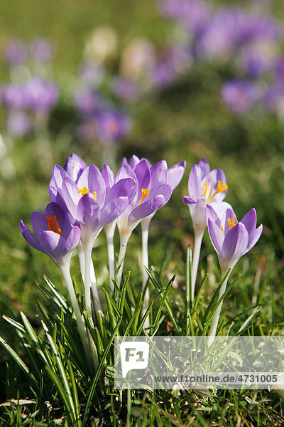 Blühende Krokusse (Crocus)  Krokusblüten